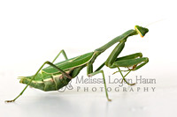Mantis_2nd
